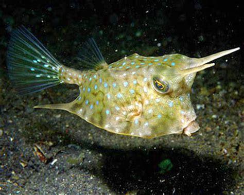 info longhorn cowfish aquarium hobbyist resource