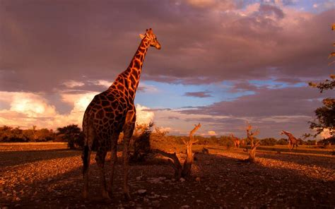 Giraffe Achtergronden  Hd Wallpapers