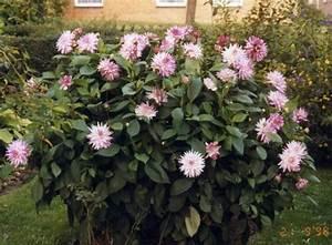 Dahlien Wann Pflanzen : wann dahlien pflanzen gr ser im k bel berwintern ~ Frokenaadalensverden.com Haus und Dekorationen
