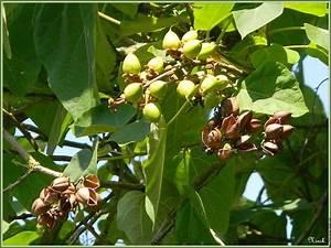 Arbre A Fruit : arbre et fruits 553 huizingen 10g cpf 803 vert arbre paulownia ~ Melissatoandfro.com Idées de Décoration
