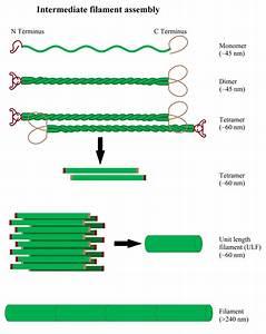 Illustration Of Intermediate Filament Assembly