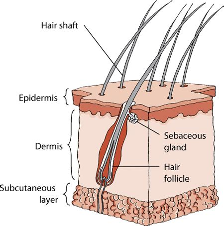 structure of the skin in cats cat owners merck