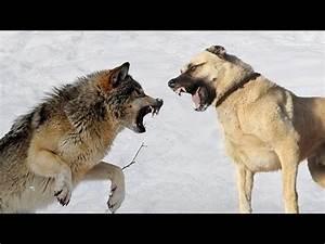 KANGAL gros chien dangereux - YouTube