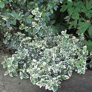 Plantes à Feuillage Persistant : fusain fortunei 39 emerald gaiety 39 plantes et jardins ~ Premium-room.com Idées de Décoration
