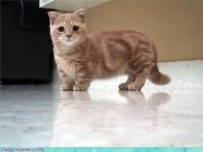 how much to board a cat scottish fold munchkin cat kawaii critters and