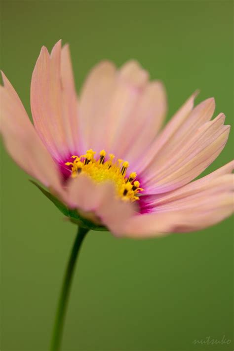 cosmos flower macro photography macro pinterest