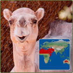 dromedary camel humphrey