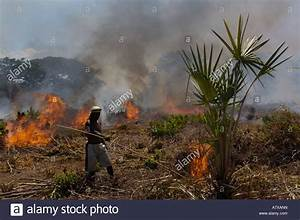 Tavy or Slash-and-burn-agriculture. near Daraina ...
