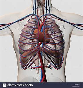 Three Dimensional Medical Illustration Of Male Chest