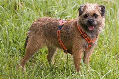 Border Terrier Non Shedding by These Dogs Possess A Great Personality And Charm