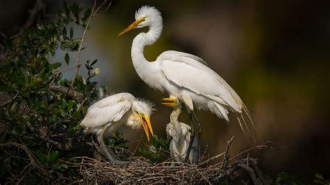 Nest On Big Egret White Heron Florida Swamp Bird Birds 4k