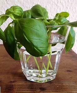 Schimmel In Pflanzen : basilikum ganz einfach selber vermehren hier bei ambiente mediterran ~ Bigdaddyawards.com Haus und Dekorationen