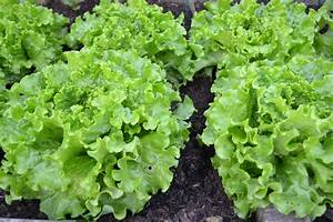 Free Images : food, harvest, produce, lettuce, plants ...