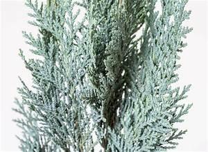 Blaue Scheinzypresse Kaufen : blaue scheinzypresse chamaecyparis lawsoniana column ~ A.2002-acura-tl-radio.info Haus und Dekorationen
