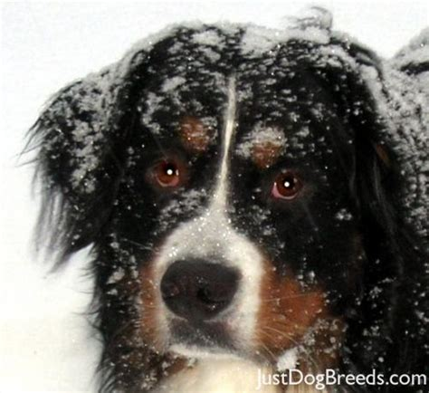 non shedding dog breeds 2 to download large non shedding