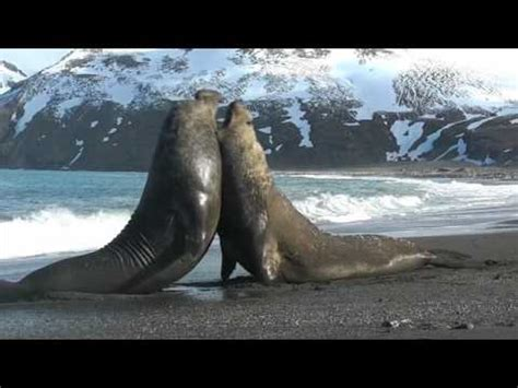 Walrus Vs Elephant Seal by Elephant Seal Vs Walrus