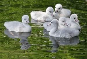 Trumpeter Swan Babies | Flickr - Photo Sharing!