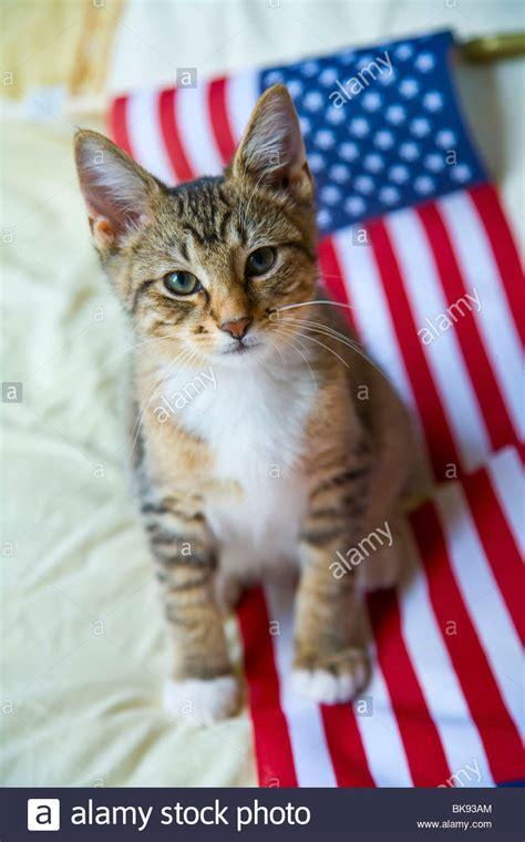 kitten resting   american flag stock photo