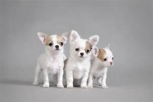 55+ Cutest Chihuahua Dogs For Home - Golfian.com