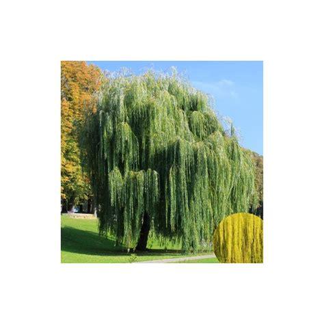 Saule pleureur - JARDINERIE GLOMOT : Votre horticulteur ...