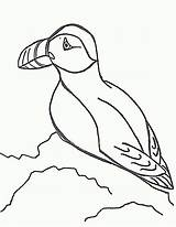 Puffin Coloring Drawing Puffins Sheet Animals Literacy Atlantic Printable Line Drawings Animal Popular Clipart Games Lbx Getdrawings Coloringhome Sample sketch template