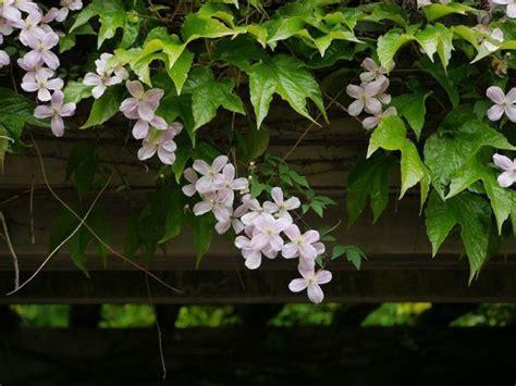 Kletterpflanzen Mit Blüten by Die Sch 246 Nsten Kletterpflanzen F 252 R Balkon Und Dachterrasse