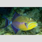 Reef Triggerfish | 640 x 426 jpeg 45kB