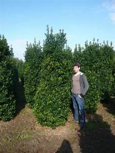 Kugelbäume Immergrün Winterhart : pflegeleichte immergr ne extrem frostharte heckenpflanzen gesucht stechpalmen ilex sind ~ Watch28wear.com Haus und Dekorationen