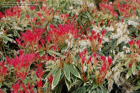andromeda plant plantfiles pictures japanese pieris andromeda lily of the valley shrub flaming silver