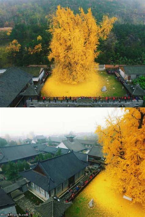 years  ginkgo tree breakbrunch
