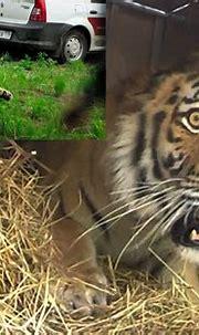 Breathtaking Footage Captures Moment Rare Amur Tiger ...