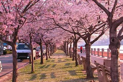 Cherry Blossoms Trees Nature Wallpapers Desktop Subcategory