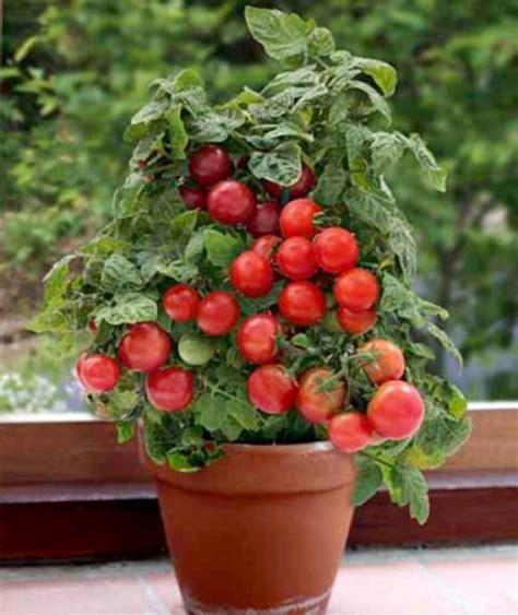 patio tomato planter container tomato gardening dengarden