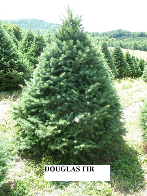 douglas fir christmas tree care untitled 7 northpolexmastrees