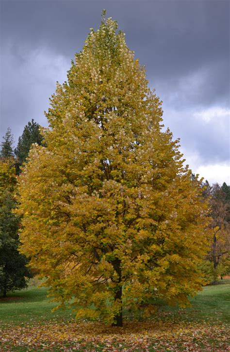 sterling forest trees ufei selectree a tree selection guide