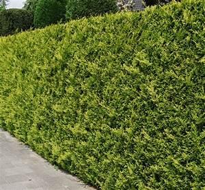 Cypres De Leyland Pas Cher : cypr s de lawson 39 stardust 39 225 250 cm plantes de ~ Dode.kayakingforconservation.com Idées de Décoration