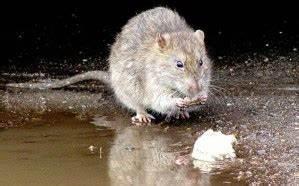 Comment Tuer Un Rat : comment tuer un rat fruitier taupier sur la france ~ Mglfilm.com Idées de Décoration
