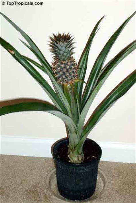 comment faire pousser un ananas sans graines 224 partir d un autre ananas image lien