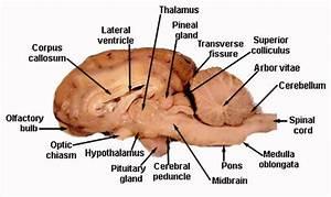 Central Nervous System Labeled Models