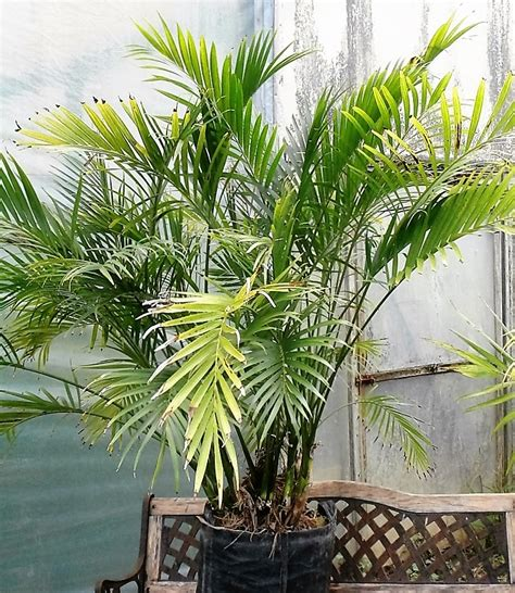 buy chamaedorea cataractarum cascade palm