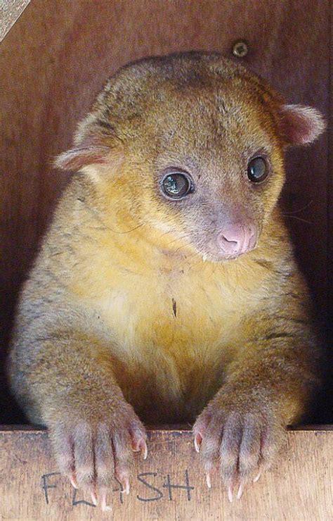 kinkajou pet the kinkajou a tropical rainforest animal and an exotic pet pethelpful