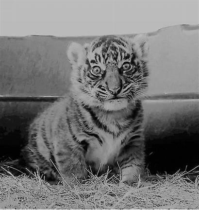 Tiger Animals Giphy Animal Gifs Cat Aladdin