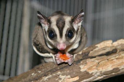 zucker opossum exotische haustiere