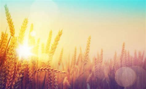 changement de si鑒e social association agriculture le maïs et de blé bientôt dévastés par le changement climatique