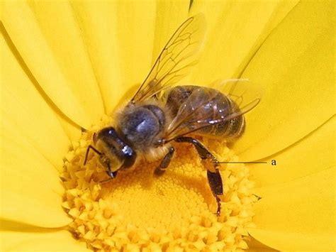 plant a bee garden the honeybee conservancy