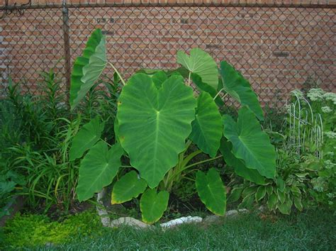 how to grow elephant ears enormous elephant ear cheryl s garden goodies