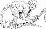 Monkey Coloring Pages Realistic Monkeys Adults Printable Spider Colouring Drawing Baboon Clipart Line Rainforest Faced Howler Primate Primates Guenon Drawings sketch template