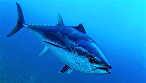 tuna fish hydraulic system in fins gives tuna extra speed futurity