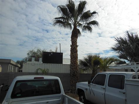 152 20 ft california palm 171 affordable tree service las