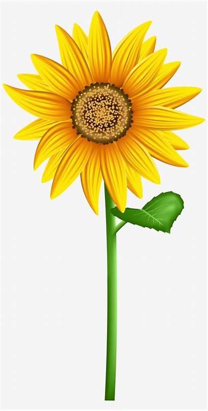 Clipart Sunflower Transparent Sunflowers Flower Clip Sun
